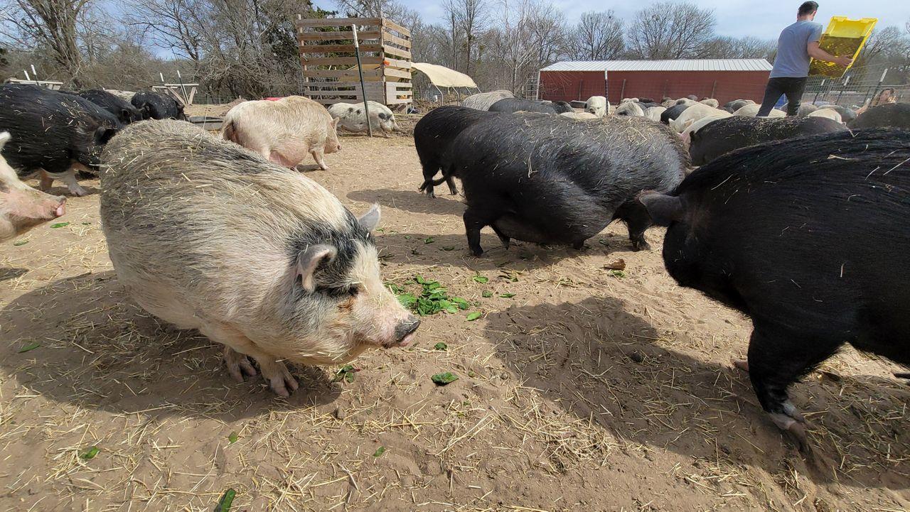 Pigs at Central Texas Pig Rescue (Agustin Garfias/Spectrum News 1)