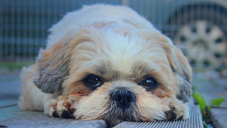 San Antonio Man Convicted For Selling Sick Puppies