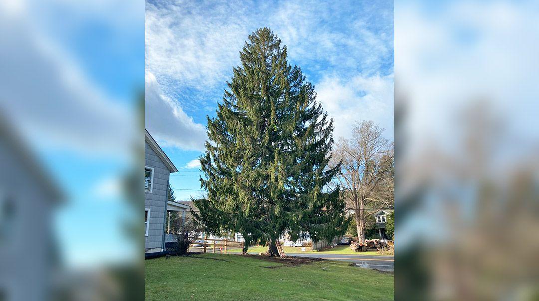 here s the 2020 rockefeller center christmas tree 2020 rockefeller center christmas tree