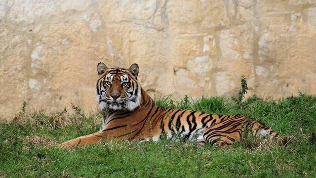 12-Year-Old Tiger Dies at San Antonio Zoo