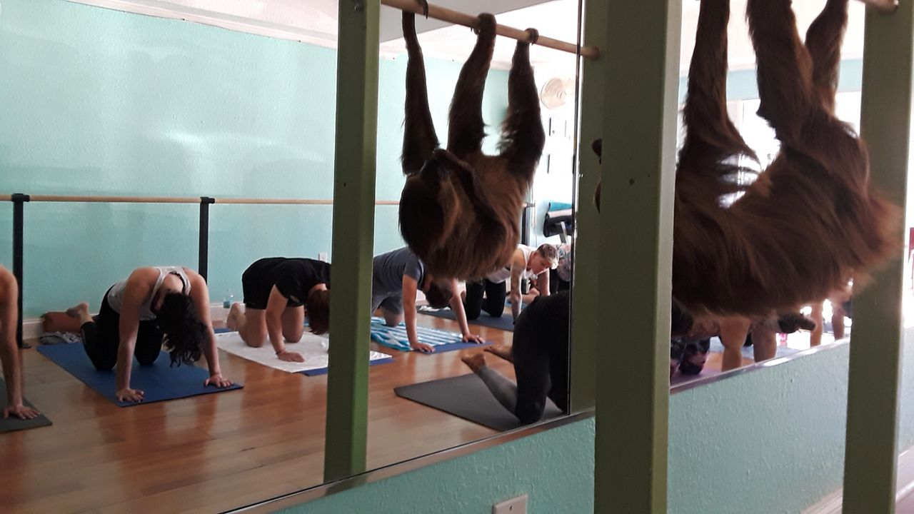Sloth Yoga Class Stretches Into Controversy, Gets Cancelled