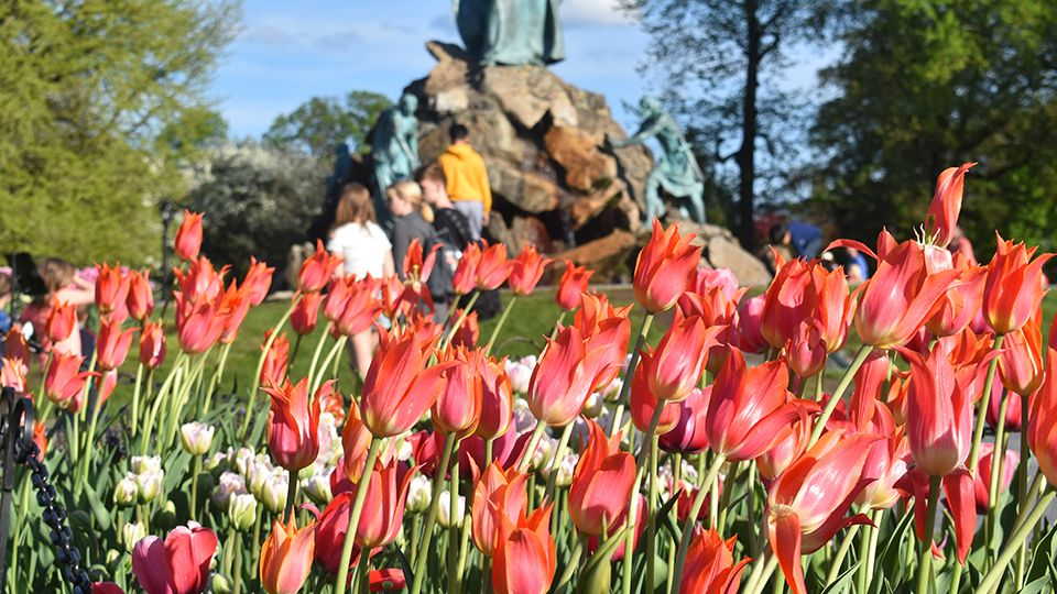 Tiptoeing Through Tulips After Madisons >> 71st Annual Tulip Festival Starts Today