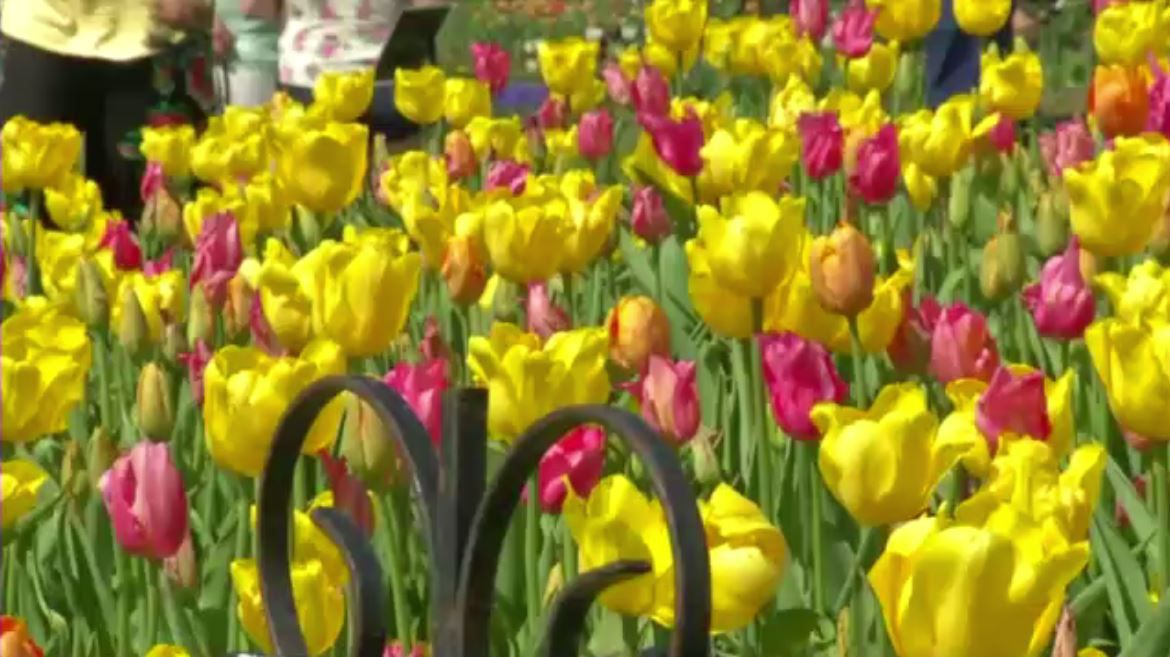 Albany Tulip Festival 2020.Steeped In Dutch Heritage Albany Tulip Fest Kicks Off