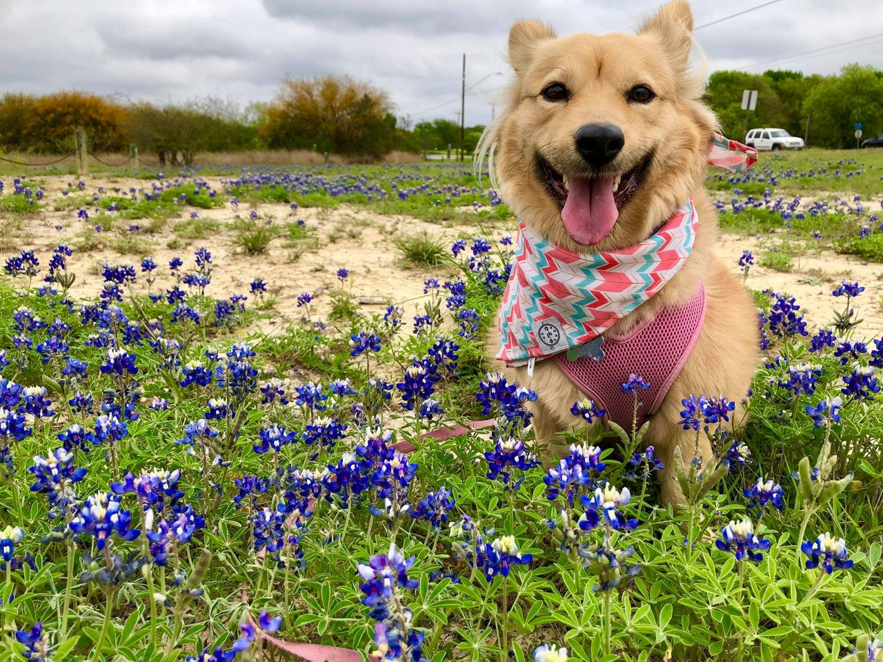Reporter Alese Underwood's pup Foxy preciously poses with the bluebonnets.