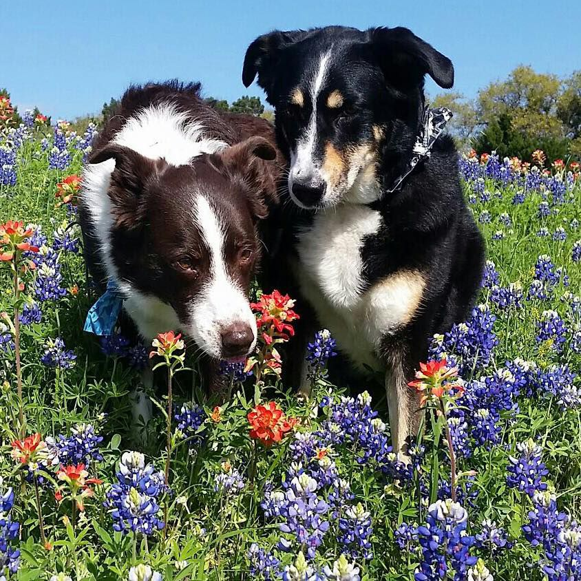 Two dogs in Texas wildflowers.