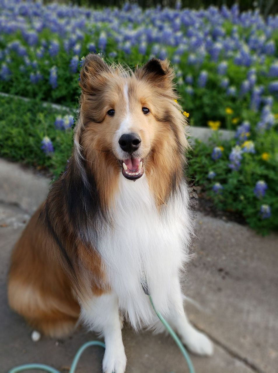 Collie poses with Texas wildflowers.