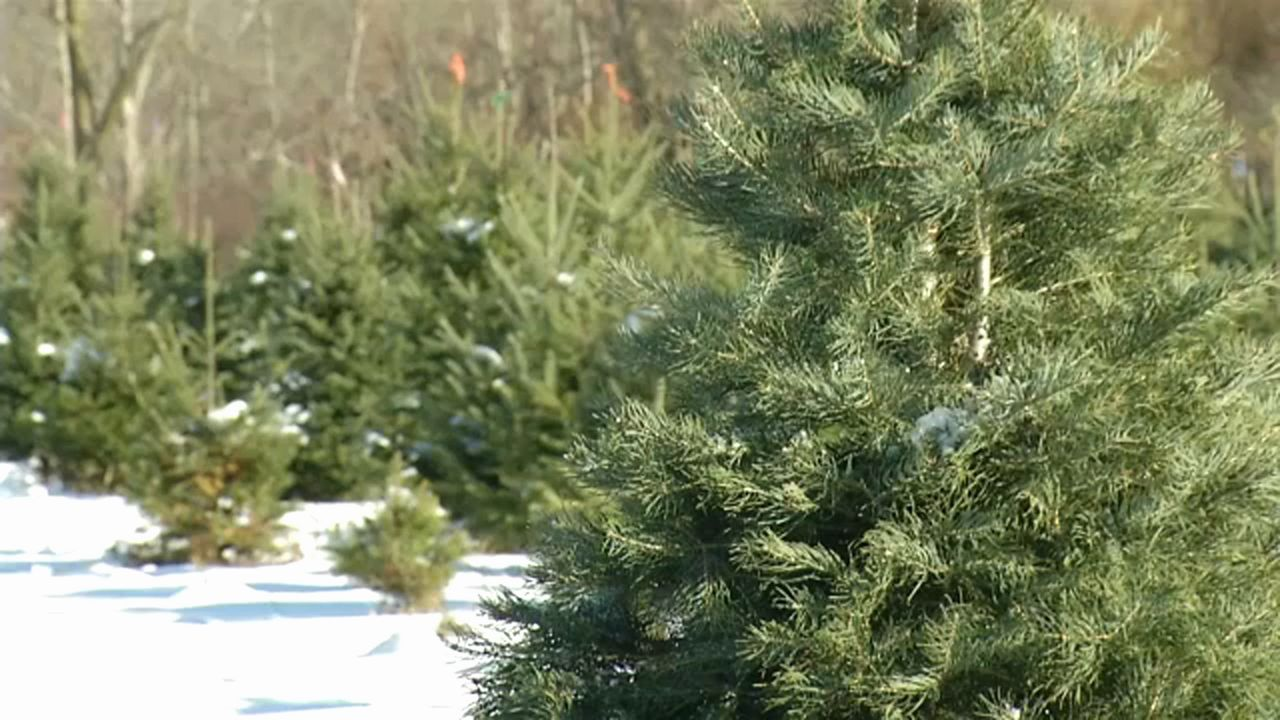Freshly Cut Christmas Trees Likely to Cost More in 2019