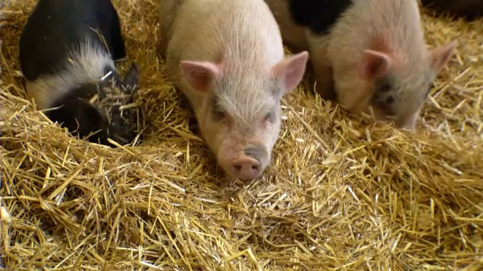 Lollypop Farm Rescues 7 Potbellied Pigs