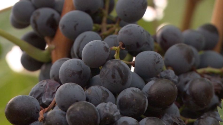 College Trying to Meet Demand for Laborers in Texas Wine Industry