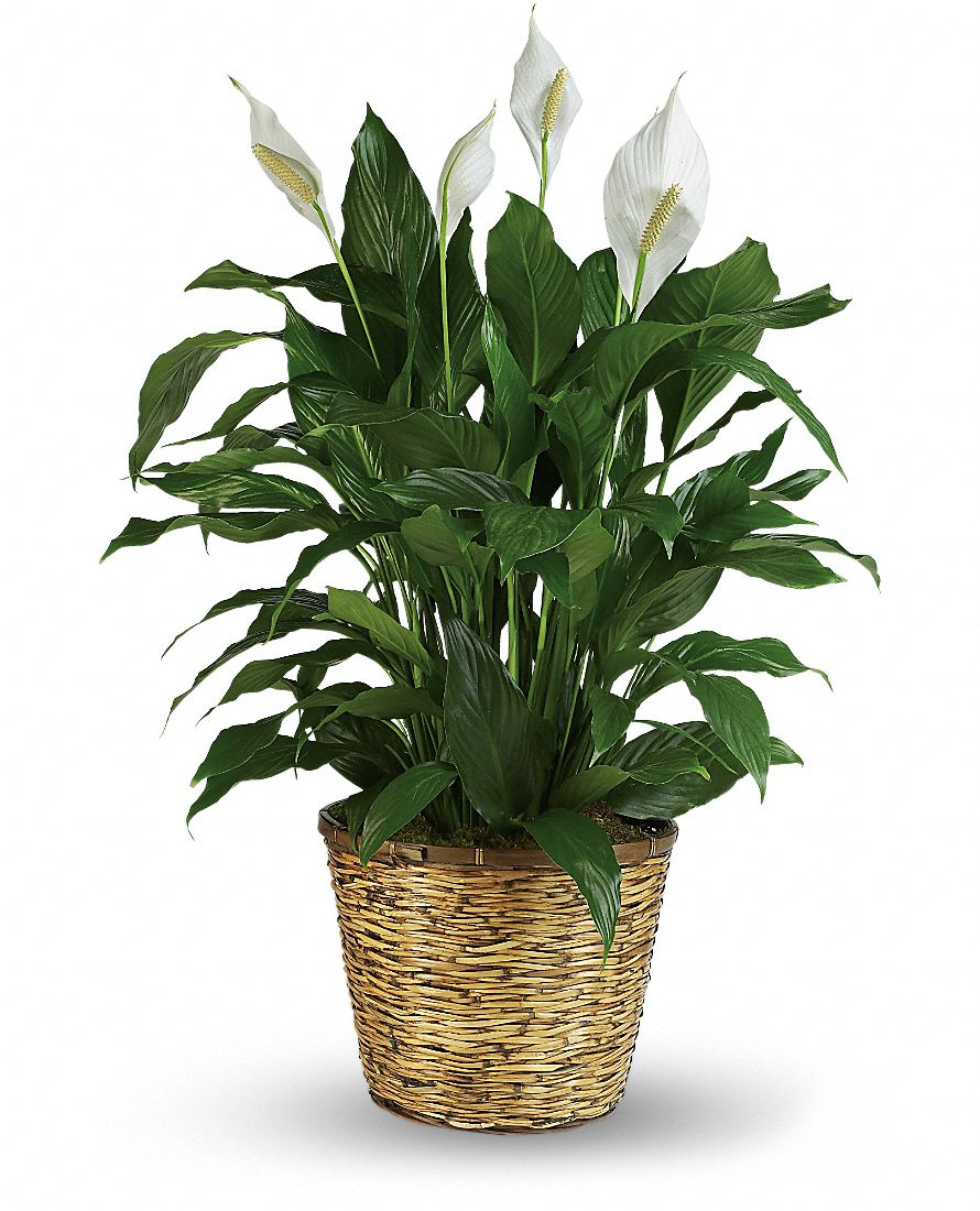 Green House Plants - Easy-to-Grow Foliage House Plants