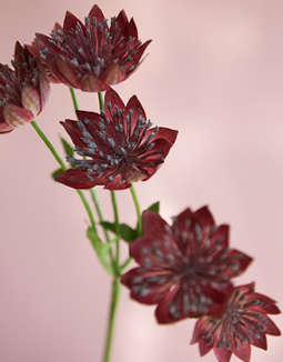 Burgundy Astrantia