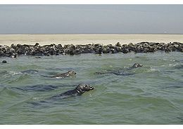 cape-cod-west-dennis-seals-on-monomoy