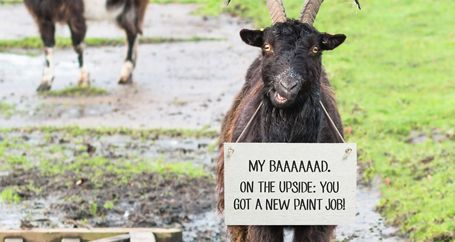 Wild goat with pet shaming for damaging car