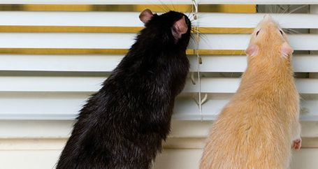 House mice crawling on window blinds