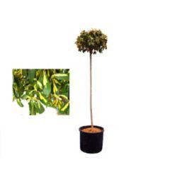 Landscape Basics 5 Gallon Euonymus Emerald n Gold Standard