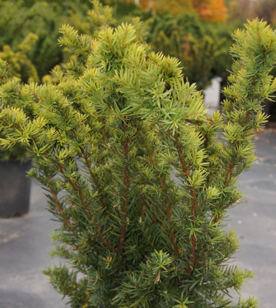 landscape basics 8 inch dense spreading yew shrub the home depot canada. Black Bedroom Furniture Sets. Home Design Ideas
