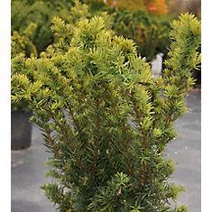 Arbuste 8 po Densiformis