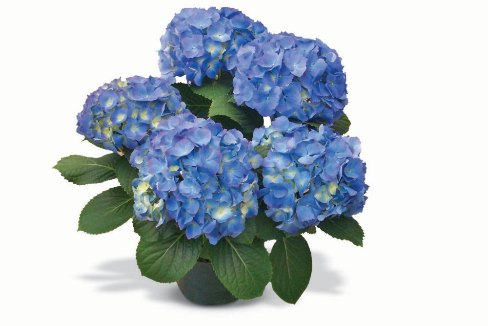 Spring Hydrangea