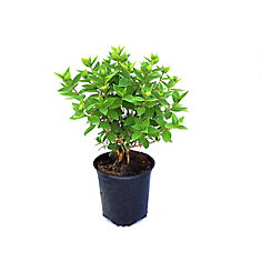 Hortensia Anabelle, 2 gallons