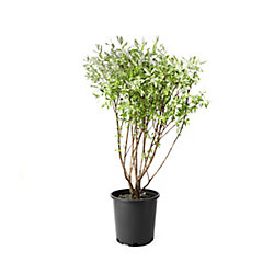 Landscape Basics 2 Gallon Dappled Willow