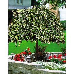 Landscape Basics 5 Gallon Fruiting Weeping Mulberry