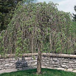 Landscape Basics 5 Gallon Fruitless Weeping Mulberry
