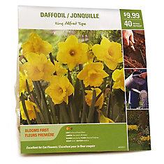 Daffodil King Alfred Type