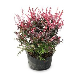 Landscape Basics 36-inch Rosy Glow Barberry Shrub
