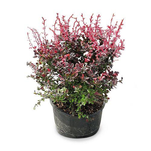Landscape Basics 36-inch Rosy Glow Barberry Shrub