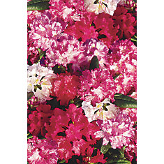 Rhododendron assortis – 2 gallons