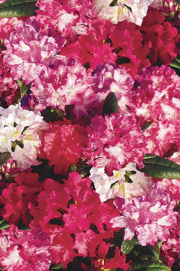 Rhododendron assortis � 2 gallons