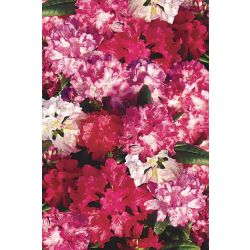 Landscape Basics 2 Gal. (7.5L) Rhododendrons (Assorted)
