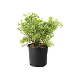 Landscape Basics 2 Gallon Potentilla Yellow