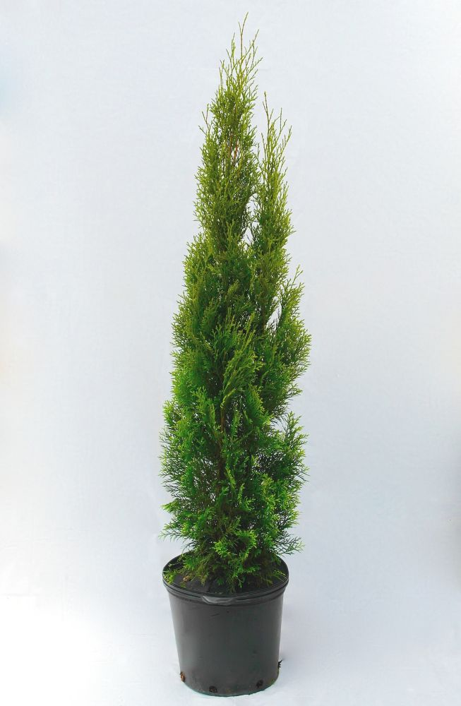 Landscape Basics 38-inch x 15-inch Emerald Cedar Tree (Grows to 15 ft.)