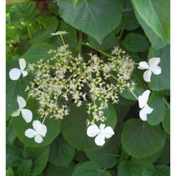 Hydrangea 8-inch Petiolaris Vine