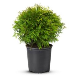 Landscape Basics 2 Gallon Globe Cedar