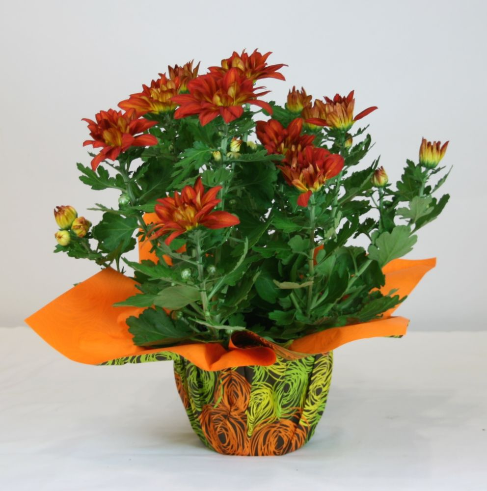 Chrysanthemum 6 Inch Holiday with Deco