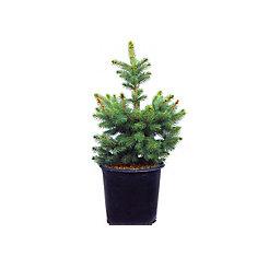 3 Gal. Baby Blue Spruce Shrub