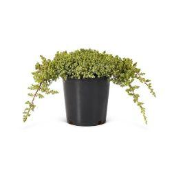 Landscape Basics 2 Gallon Dwarf Japanese Garden Juniper