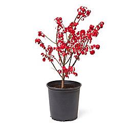 Landscape Basics 2 Gallon Burning Bush