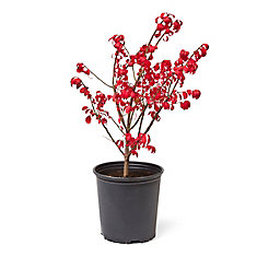 Buisson ardent, 2 gallons