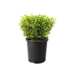 Landscape Basics 2 Gallon Boxwood