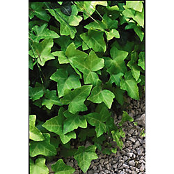Landscape Basics 2 Gallon Thorndale Ivy