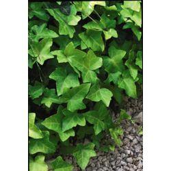 Landscape Basics 2 Gallon Thorndale Ivy