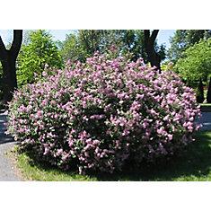 Arbuste 8 po Nain