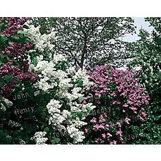 Lilas Hybrides Assortis 5g