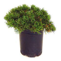 Landscape Basics 2 Gallon Mugo Pine