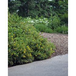 Landscape Basics 1 Gal. (3.8L) Boxwood (Assorted)