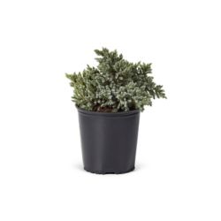 Landscape Basics 2 Gal. Juniper Blue Star Shrub