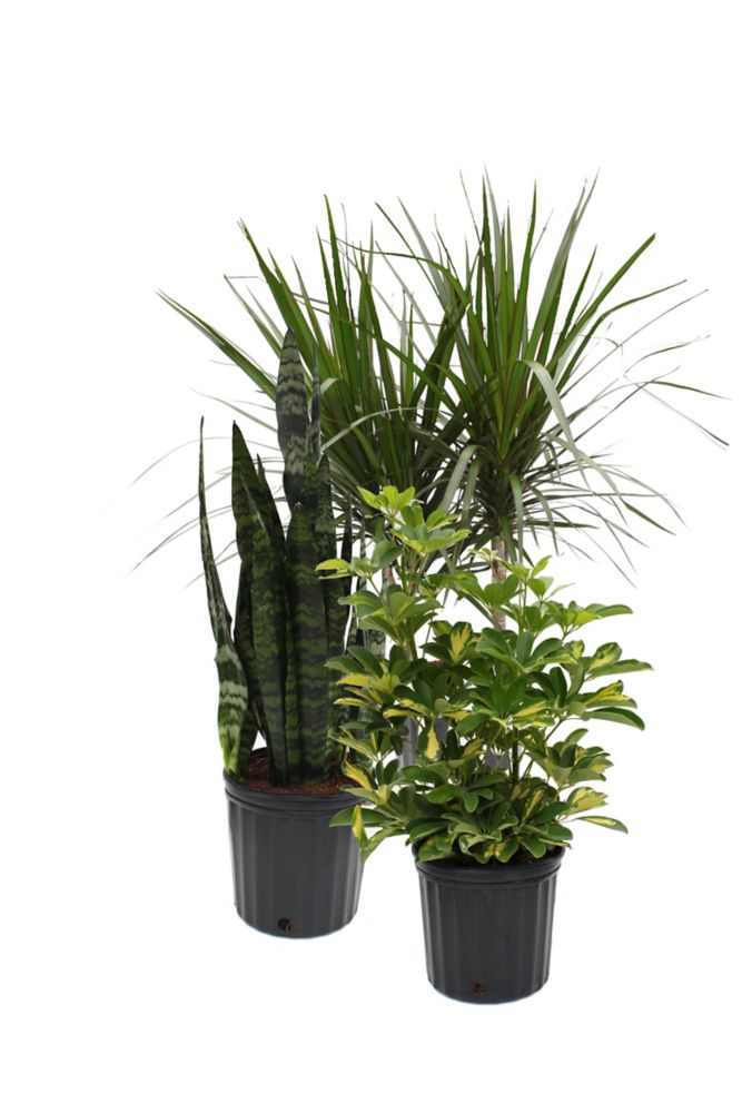 Assorted 10-inch Tropical Plants